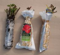 Buy rose seedlings from the nursery
