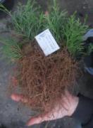 Черенки укорененные декоративных растений