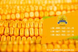 Corn seeds Dniprovskyi 181 SV from PBF Kolos