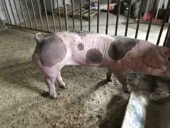 Племінні кнури зі свинокомплексу