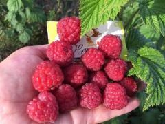 Продам саженцы ягодных культур: клубники, малины, голубики и дру