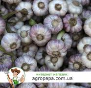Sell garlic for processing 10 UAHkg
