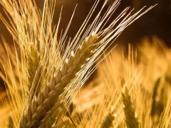 Sell seeds of barley 6 row. Helios, Vakula, Galician