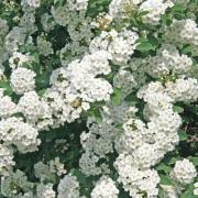 Spiraea Vannhoutei, P9, wholesale
