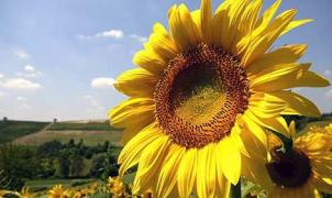 Sunflower, hybrids of Ukrainian selection