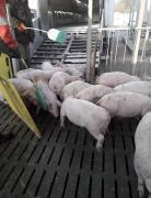 Свині до свинарки комплексу. Свині ПІК, ДанБред