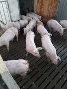 Свині PIC, DanBred